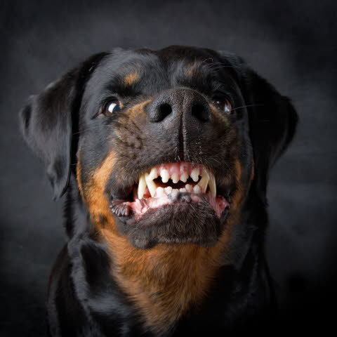 Boze labrador hond
