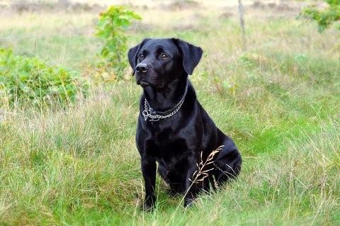 Zwarte labrador in het gras